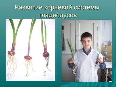 Развитие корневой системы гладиолусов