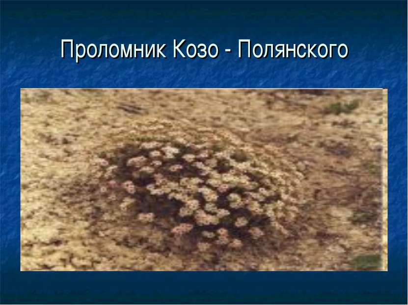Проломник Козо - Полянского