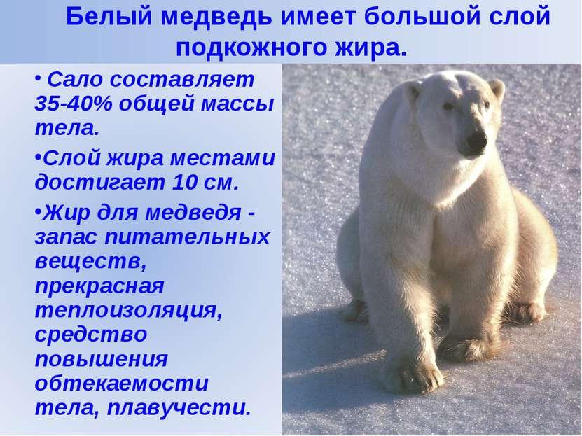 Белый медведь имеет большой слой подкожного жира.