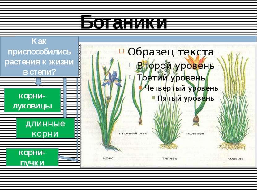 Ботаники Как приспособились растения к жизни в степи? корни-луковицы корни- п...