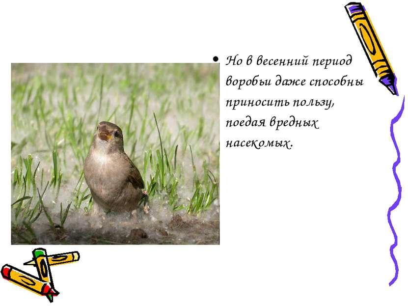 Но в весенний период воробьи даже способны приносить пользу, поедая вредных н...