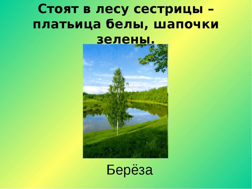 Стоят в лесу сестрицы – платьица белы, шапочки зелены. Берёза