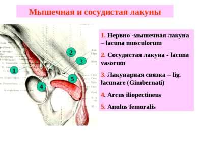 Мышечная и сосудистая лакуны 1. Нервно -мышечная лакуна – lacuna musculorum 2...