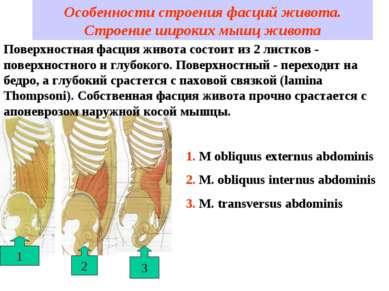 Особенности строения фасций живота. Строение широких мышц живота 2 1 3 Поверх...