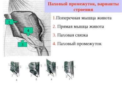 Паховый промежуток, варианты строения 1 3 1.Поперечная мышца живота 2. Прямая...