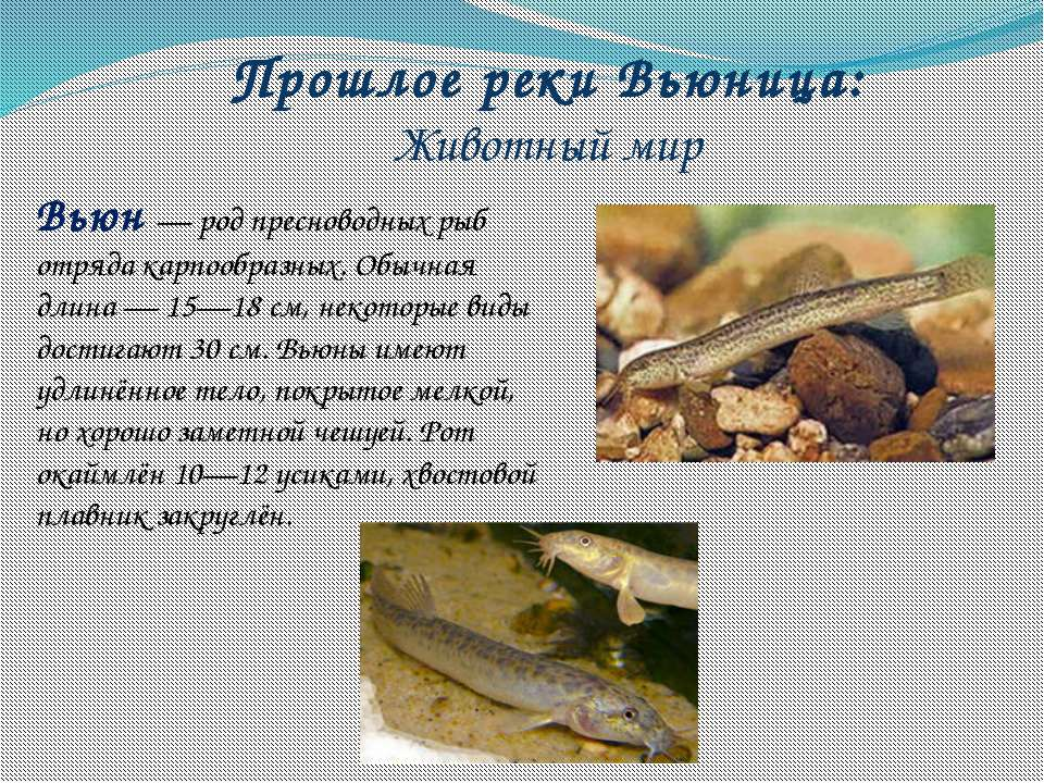 Прошлое реки Вьюница: Животный мир Вьюн— род пресноводных рыб отряда карпооб...