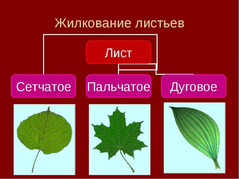 Жилкование листьев