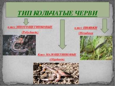 ТИП КОЛЬЧАТЫЕ ЧЕРВИ класс МНОГОЩЕТИНКОВЫЕ (Polychaeta) класс ПИЯВКИ (Hirudine...