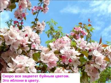 Скоро все зацветет буйным цветом. Это яблони в цвету.
