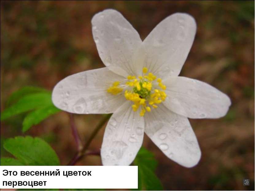 Это весенний цветок первоцвет