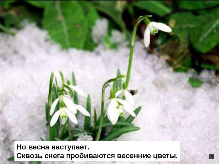 Но весна наступает. Сквозь снега пробиваются весенние цветы.
