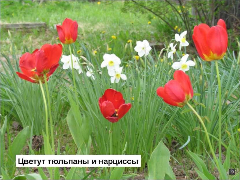 Цветут тюльпаны и нарциссы