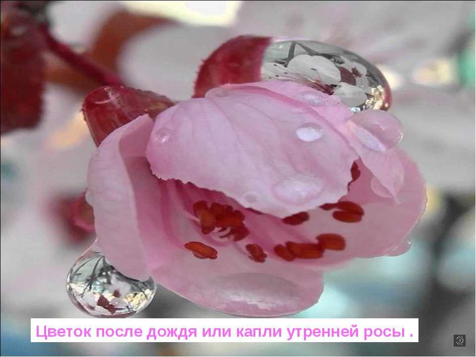 Цветок после дождя или капли утренней росы .