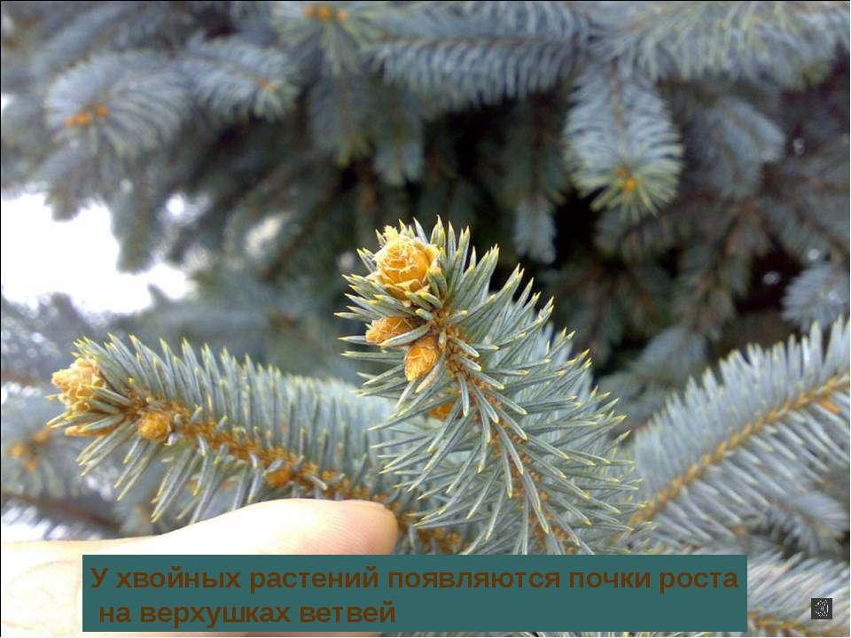 У хвойных растений появляются почки роста на верхушках ветвей