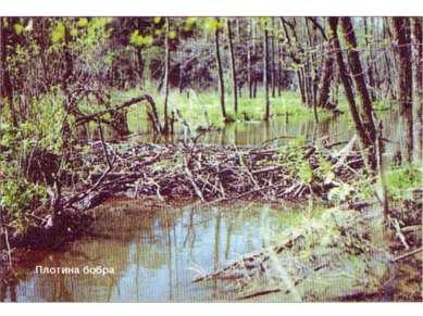 Плотина бобра