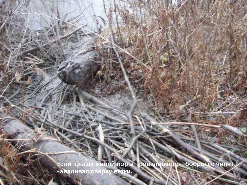 Если крыша жилой норы проваливается, бобры ее чинят, наваливая сверху ветки.