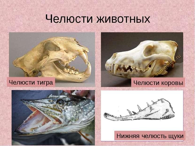 Челюсти животных Нижняя челюсть щуки Челюсти коровы Челюсти тигра