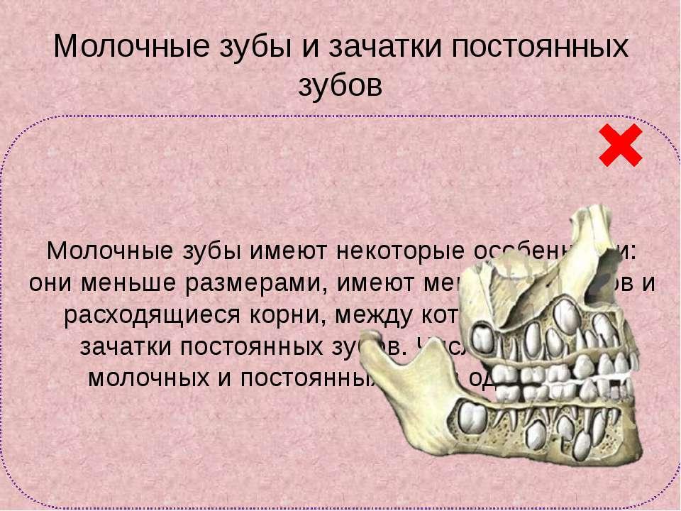 Молочные зубы и зачатки постоянных зубов Молочные зубы имеют некоторые особен...