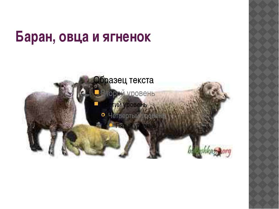 Баран, овца и ягненок