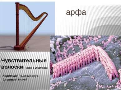 арфа Чувствительные волоски ( увел. в 250000 раз) Короткие- высокий звук, дли...