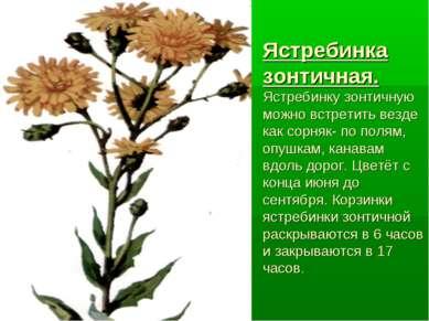 Ястребинка зонтичная. Ястребинку зонтичную можно встретить везде как сорняк- ...