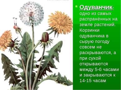 Одуванчик-одно из самых распранённых на земле растений. Корзинки одуванчика в...