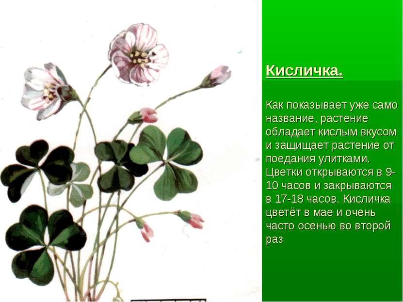 Кисличка. Как показывает уже само название, растение обладает кислым вкусом и...