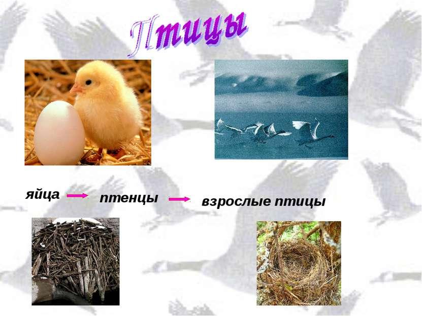 яйца птенцы взрослые птицы