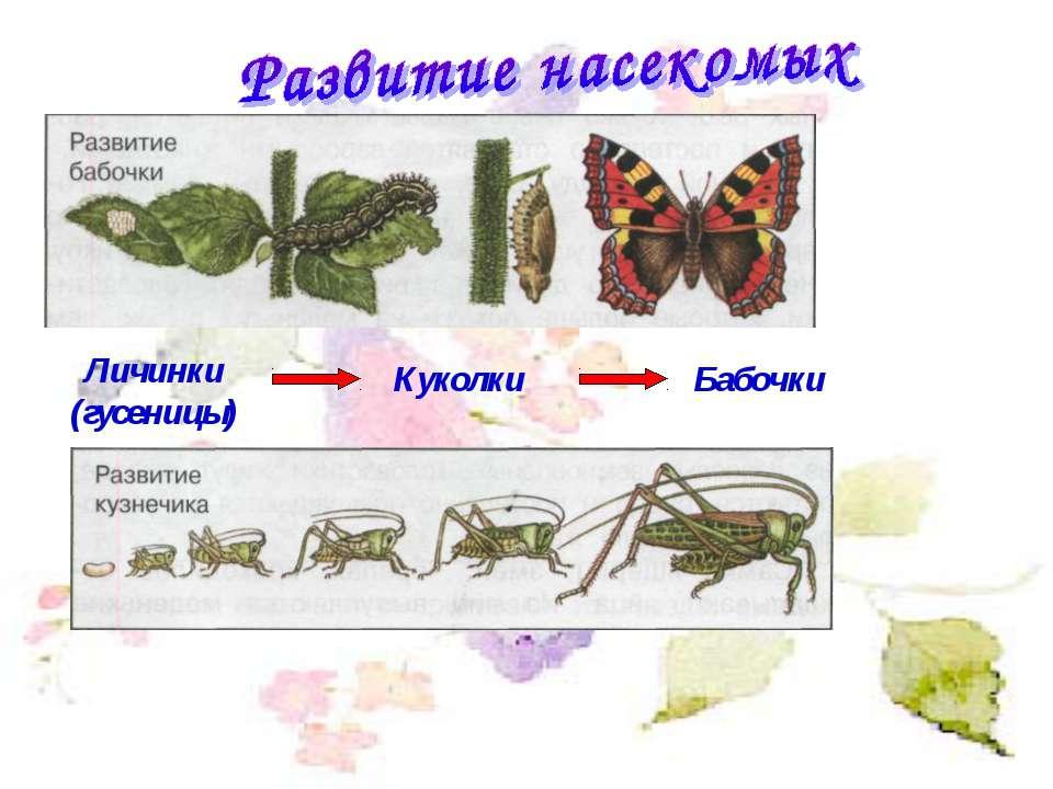 Личинки (гусеницы) Куколки Бабочки