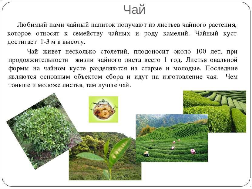 Любимый нами чайный напиток получают из листьев чайного растения, которое отн...