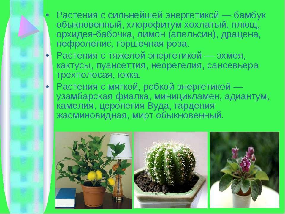 Растения с сильнейшей энергетикой — бамбук обыкновенный, хлорофитум хохлатый,...
