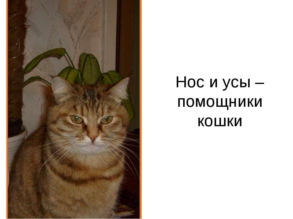 Нос и усы – помощники кошки