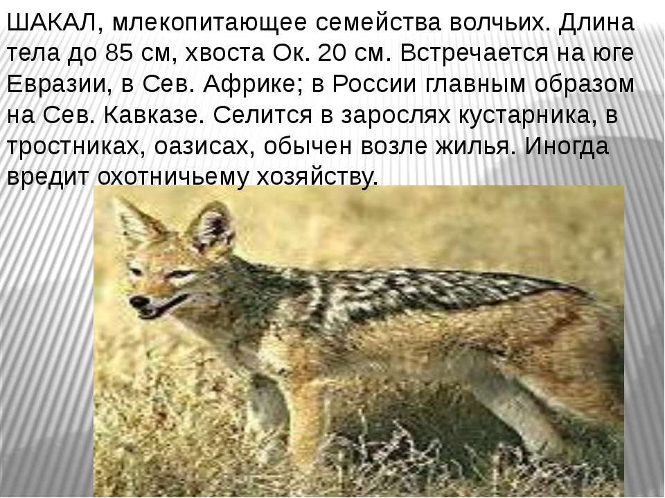 ШАКАЛ, млекопитающее семейства волчьих. Длина тела до 85 см, хвоста Ок. 20 см...