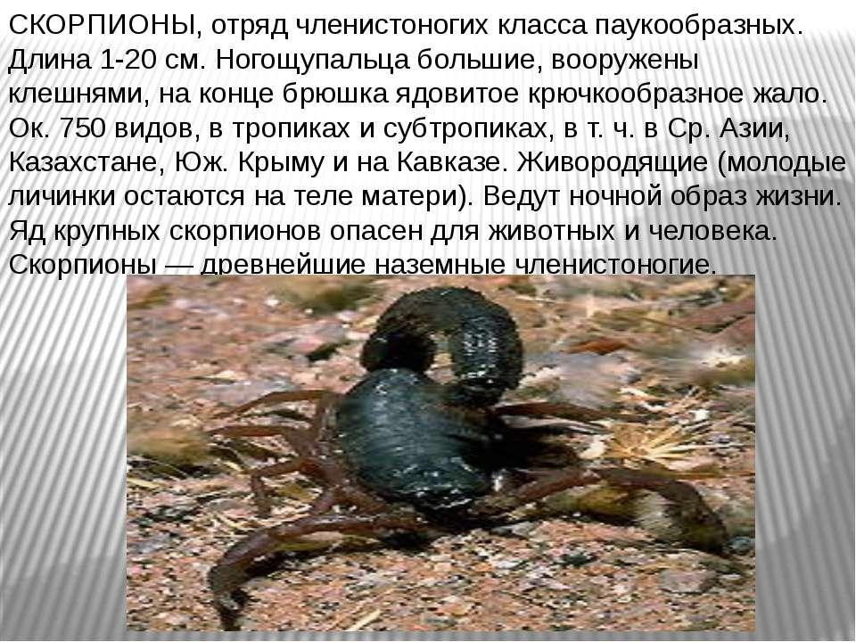 СКОРПИОНЫ, отряд членистоногих класса паукообразных. Длина 1-20 см. Ногощупал...