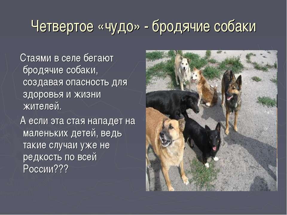 Четвертое «чудо» - бродячие собаки Стаями в селе бегают бродячие собаки, созд...