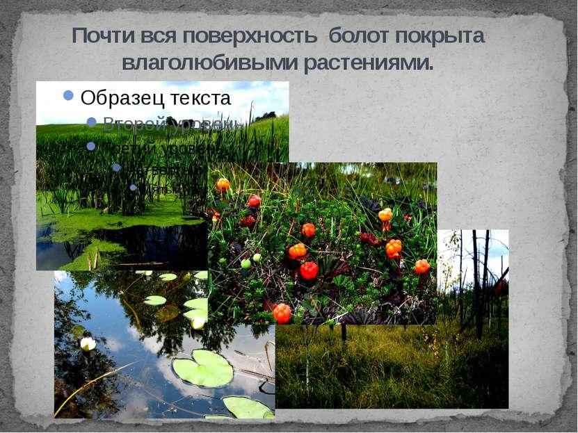 Почти вся поверхность болот покрыта влаголюбивыми растениями.