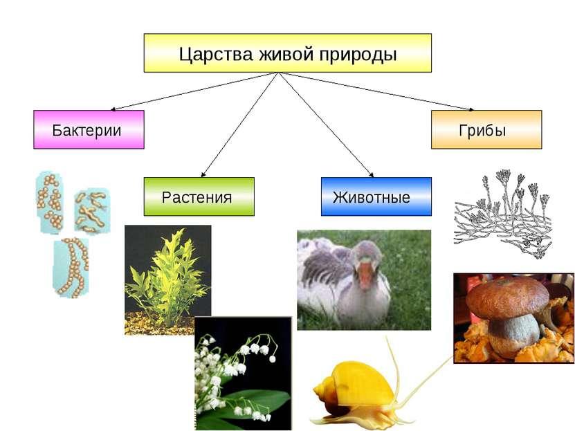 Царства живой природы Бактерии Грибы Растения Животные