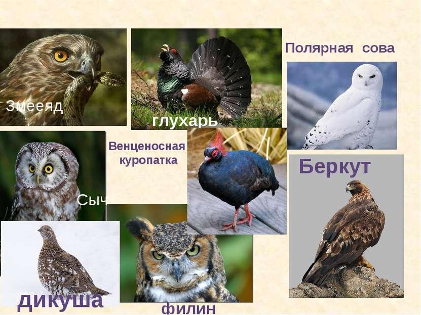 глухарь дикуша Сыч филин Полярная сова Беркут Змееяд Венценосная куропатка