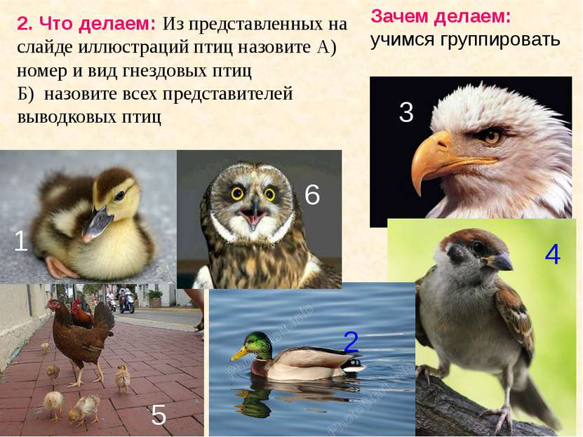 2. Что делаем: Из представленных на слайде иллюстраций птиц назовите А) номер...