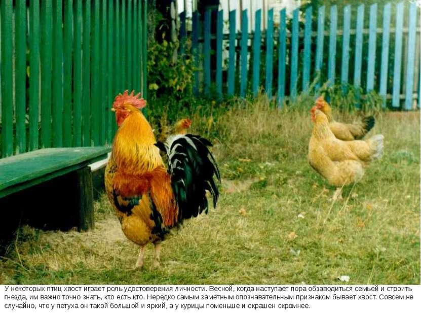 У некоторых птиц хвост играет роль удостоверения личности. Весной, когда наст...