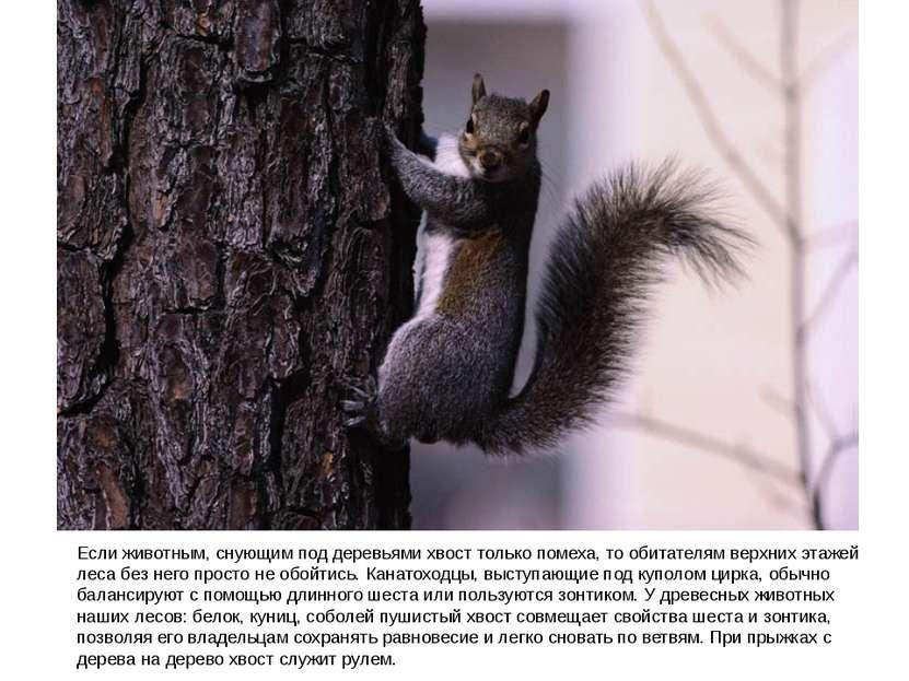Если животным, снующим под деревьями хвост только помеха, то обитателям верхн...