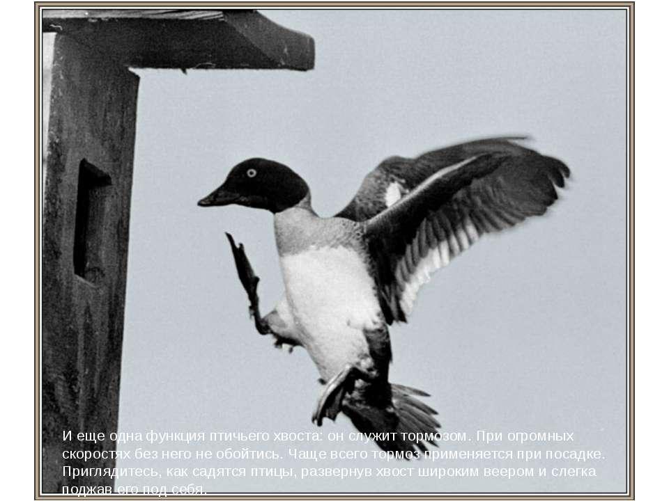 И еще одна функция птичьего хвоста: он служит тормозом. При огромных скоростя...