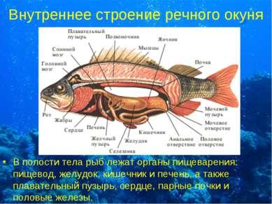 Внутреннее строение речного окуня В полости тела рыб лежат органы пищеварения...