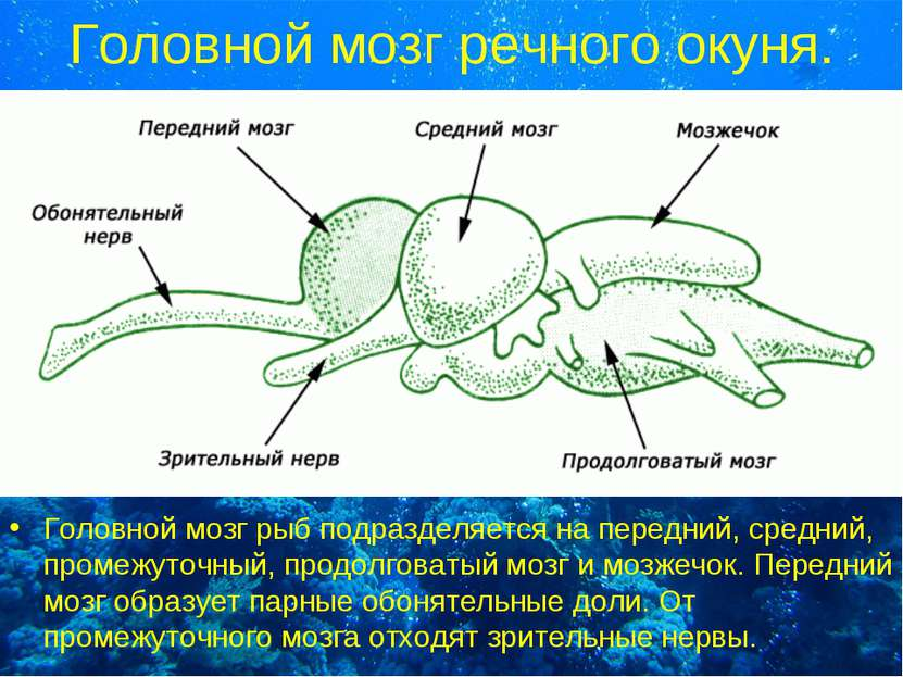 Головной мозг речного окуня. Головной мозг рыб подразделяется на передний, ср...