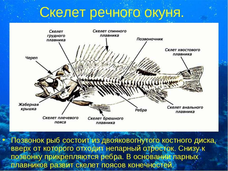 Скелет речного окуня. Позвонок рыб состоит из двояковогнутого костного диска,...