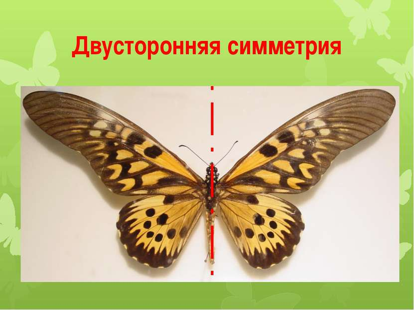 Двусторонняя симметрия