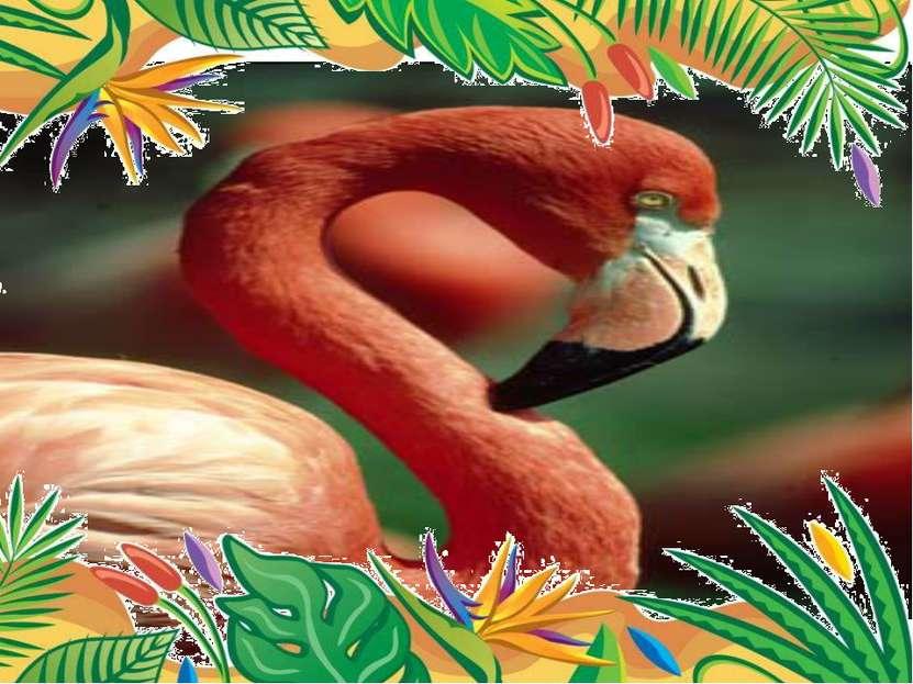 Самые длинные ноги- у малого фламинго. Высота птицы 1,5 метра, а длина ног д...