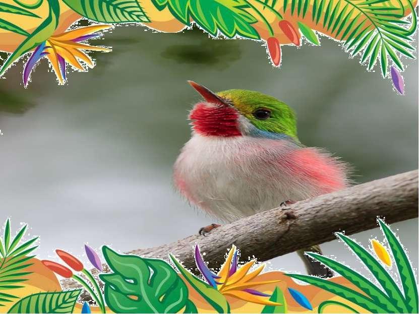 Самая прожорливая птица -  кубинский тоди. за световой день, продолжающийся ...