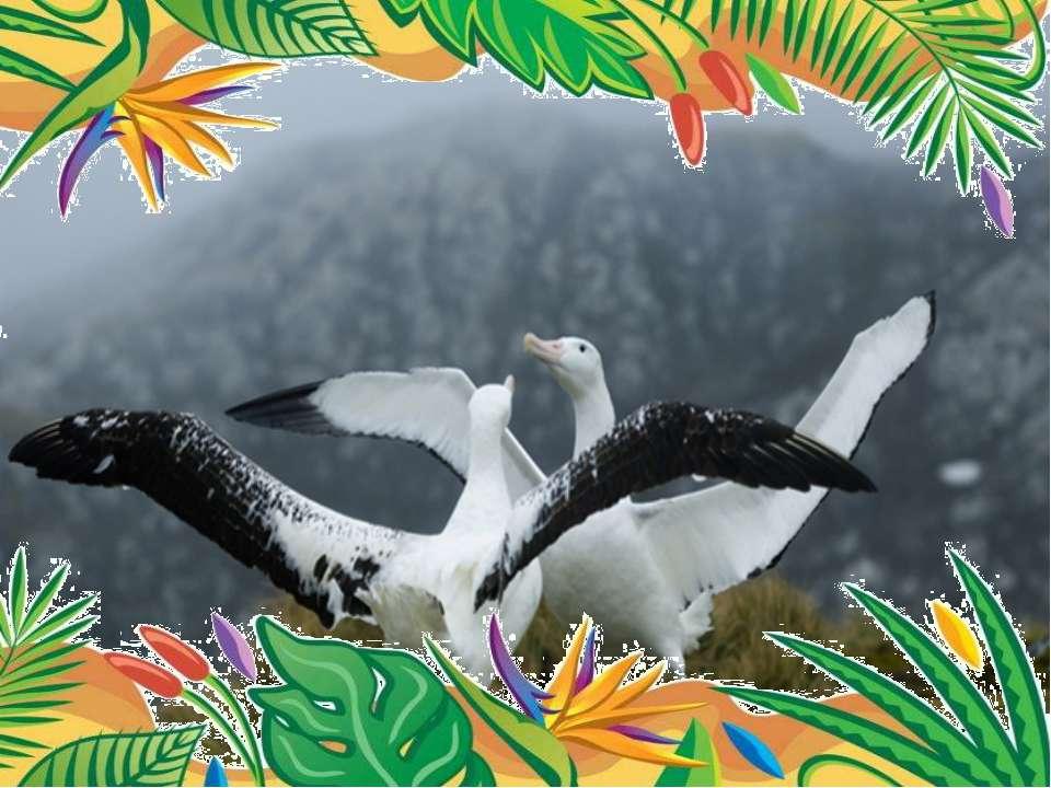 Самый большой размах крыльев – у странствующего альбатроса.  размах крыльев ...