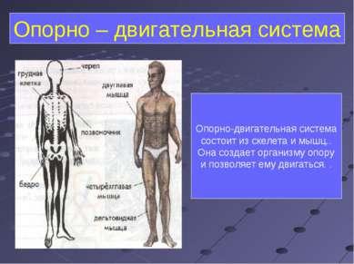 Опорно – двигательная система Опорно-двигательная система состоит из скелета ...
